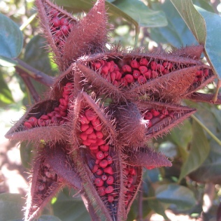 ... as did Annatto.