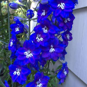 Jean-Pierre Garau allowed me to use his lovely image of Delphiniums.