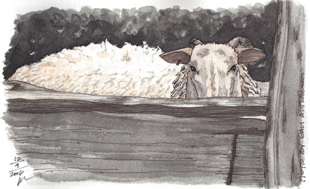w16-12-11-pentalic-dans-sheep-300