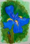 W17 7 14 BLUE IRIS-0925