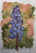 W18 7 4 HPC GRAPE HYACINTH-0988