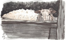 W16 12 11 PENTALIC DAN'S SHEEP 300